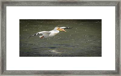 White Pelican 1-2015 Framed Print by Thomas Young