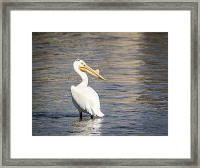 White Pelican 2-2015 Framed Print by Thomas Young