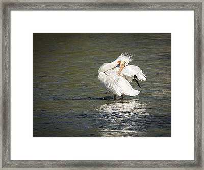 White Pelican 3-2015 Framed Print by Thomas Young