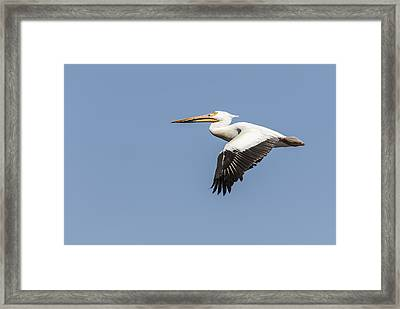 White Pelican 4-2015 Framed Print by Thomas Young