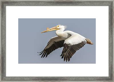 White Pelican 5-2015 Framed Print by Thomas Young