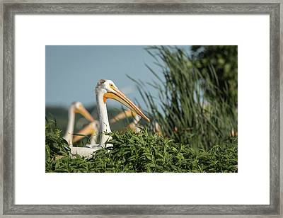 Framed Print featuring the photograph White Pelican 7-2015 by Thomas Young