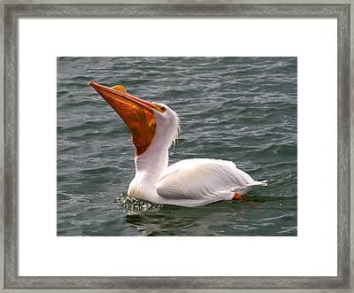 Framed Print featuring the photograph White Pelican And Lunch by Phil Stone
