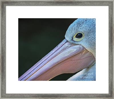 White Pelican Close Up Framed Print by Avalon Fine Art Photography