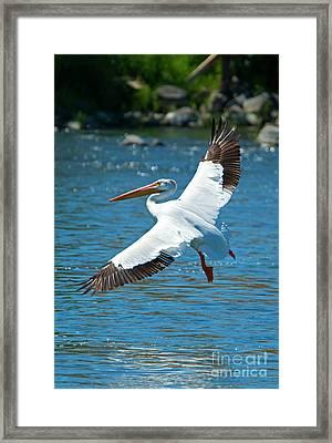 White Pelican Flight Framed Print by Mike Dawson