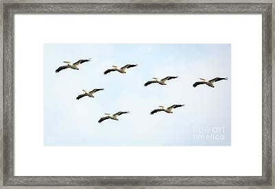 Framed Print featuring the photograph White Pelican Flyby by Ricky L Jones