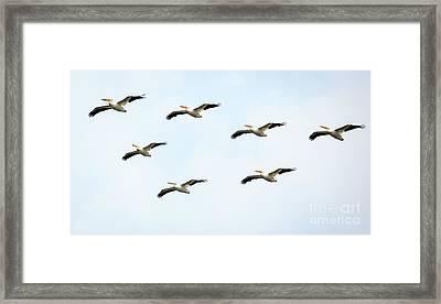 White Pelican Flyby Framed Print by Ricky L Jones