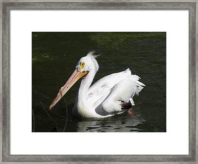 White Pelican Framed Print by George Jones