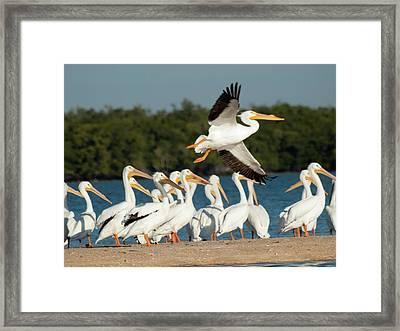 White Pelican In Flight Framed Print by Diane Luke