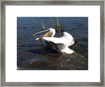 White Pelican In The Marsh Framed Print by Bill Perry