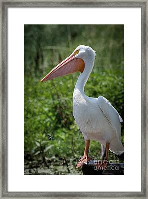 White Pelican Portrait Framed Print by Robert Frederick