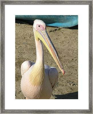 White Pelican Framed Print by Sally Weigand