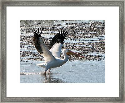 White Pelican Takes Wing Framed Print