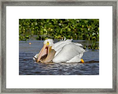Framed Print featuring the photograph White Pelican With A Huge Catch by Phil Stone