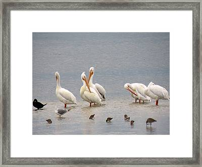 White Pelicans And Friends Framed Print