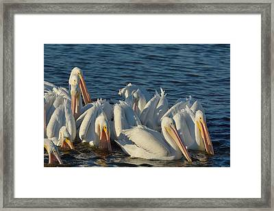 Framed Print featuring the photograph White Pelicans Flock Feeding by Bradford Martin
