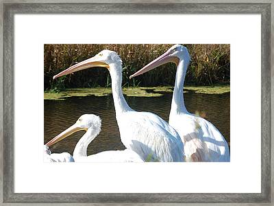 White Pelicans Framed Print by Heather Chaput