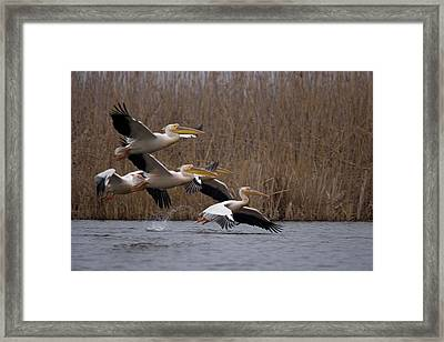 White Pelicans In Flight Over Lake Framed Print