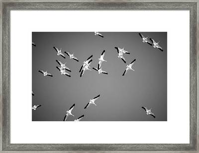White Pelicans In The Winter Sky - Black And White - Texas Framed Print by Ellie Teramoto