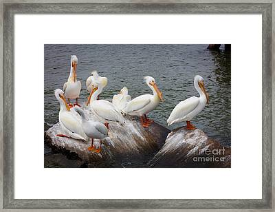 White Pelicans Framed Print by Inge Johnsson