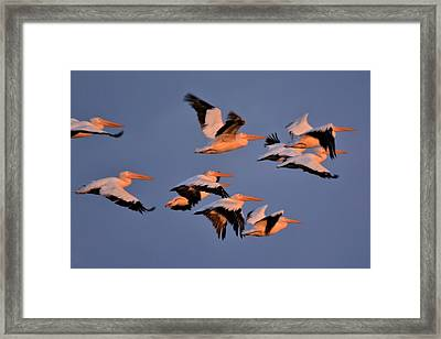 White Pelicans Framed Print by John Adams