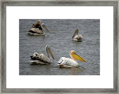 White Pelicans On Lake  Framed Print