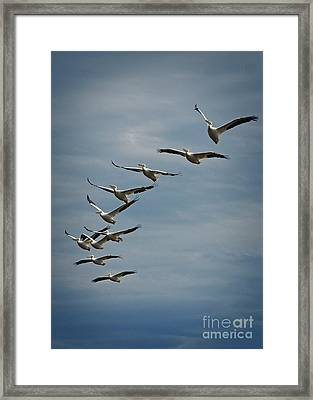 White Pelicans Rising Up Framed Print by Marvin Reinhart