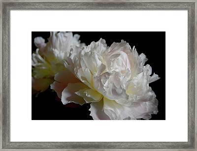 White Peonies Framed Print by David Rothmiller