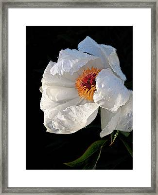 White Peony After The Rain Framed Print by Gill Billington