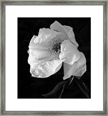 White Peony After The Rain In Black And White Framed Print by Gill Billington