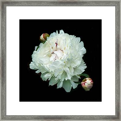 White Peony And Buds Framed Print