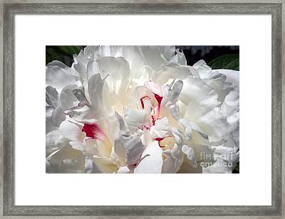 White Peony And Red Highlights Framed Print