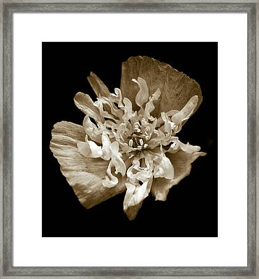 White Peony Flowered Opium Poppy Framed Print