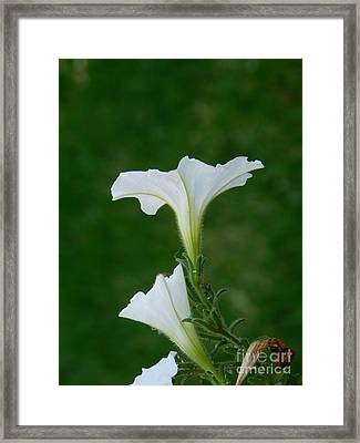 White Petunia Blossoms Framed Print