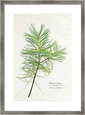 White Pine Framed Print by Christina Rollo