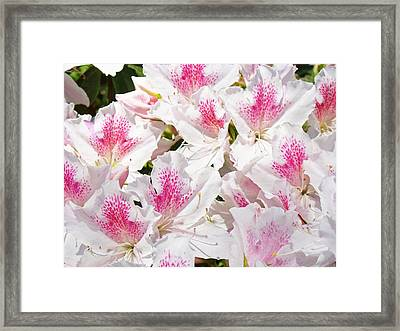White Pink Rhododendrons Floral Flowers Art Prints Baslee Troutman Framed Print