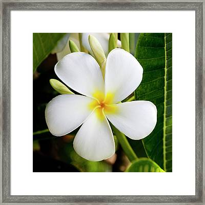 White Plumeria Framed Print by Kelley King