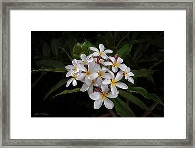 White Plumerias In Bloom Framed Print