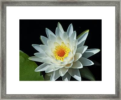 White Pond Lily Framed Print