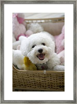 White Poodle Lying In Bed With Stuffed Framed Print by Gillham Studios