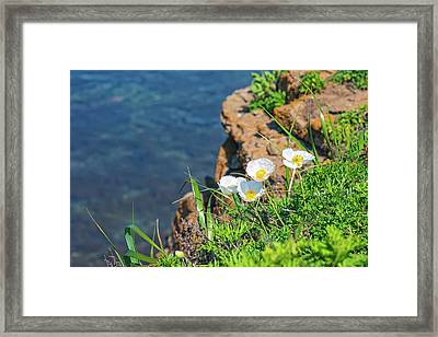 White Poppies On A Rock By The Sea Framed Print