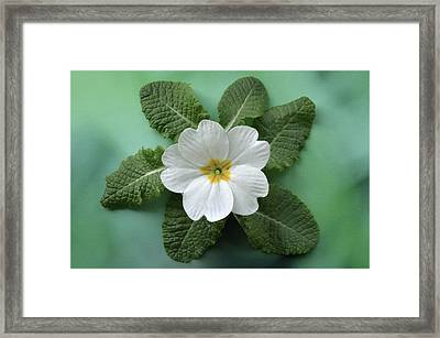 Framed Print featuring the photograph White Primrose by Terence Davis