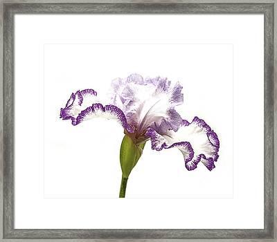 White Purple Iris Framed Print