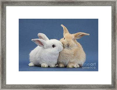 White Rabbit And Sandy Rabbit Framed Print by Mark Taylor