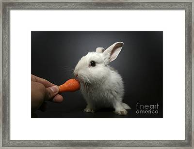 White Rabbit  Framed Print by Yedidya yos mizrachi