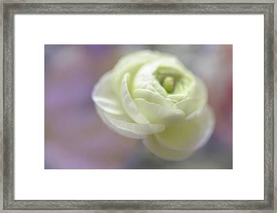 Framed Print featuring the photograph White Ranunculus Bud by Jenny Rainbow
