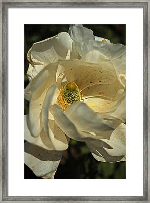 White Ranunculus Framed Print by Jean Booth