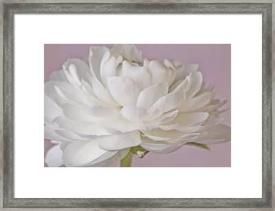 White Ranunculus Macro  Framed Print by Sandra Foster
