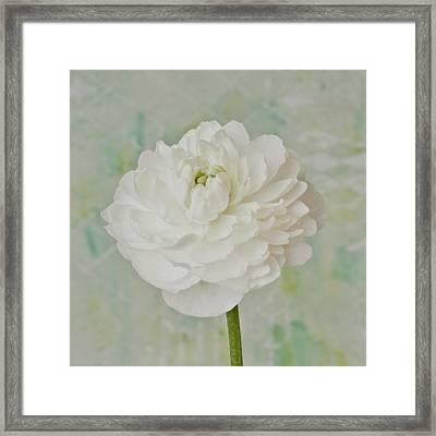 White Ranunculus Framed Print by Sandra Foster
