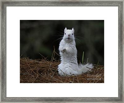 White Red Squirrel Framed Print by Teresa A and Preston S Cole Photography